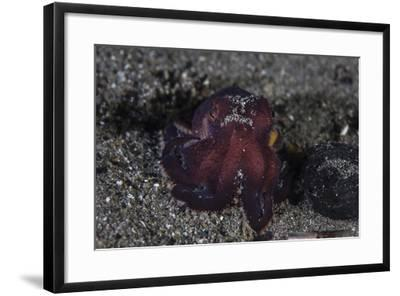 A Coconut Octopus Crawls across the Sandy Seafloor-Stocktrek Images-Framed Photographic Print