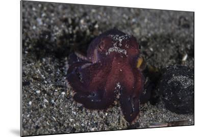 A Coconut Octopus Crawls across the Sandy Seafloor-Stocktrek Images-Mounted Photographic Print