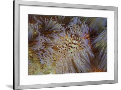 A Pair of Coleman's Shrimp Live Among the Venomous Spines of a Fire Urchin-Stocktrek Images-Framed Photographic Print