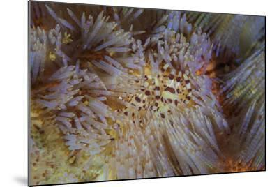 A Pair of Coleman's Shrimp Live Among the Venomous Spines of a Fire Urchin-Stocktrek Images-Mounted Photographic Print