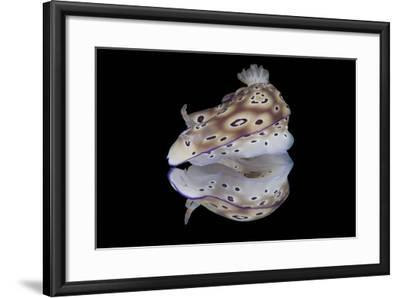 Risbecia Tryoni Nudibranch, Beqa Lagoon, Fiji-Stocktrek Images-Framed Photographic Print