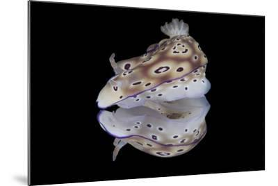 Risbecia Tryoni Nudibranch, Beqa Lagoon, Fiji-Stocktrek Images-Mounted Photographic Print