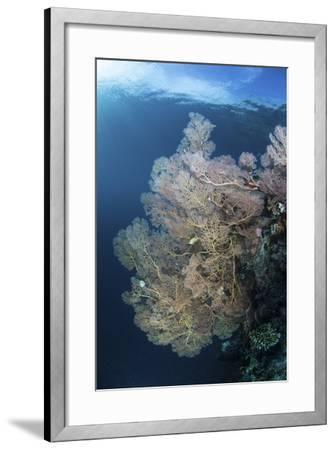 Sunlight Illuminates a Large Gorgonian Growing on a Reef in Raja Ampat-Stocktrek Images-Framed Photographic Print
