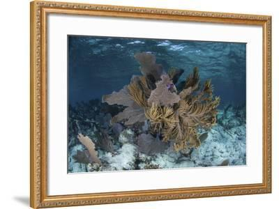 Colorful Gorgonians Grow in Off Turneffe Atoll in Belize-Stocktrek Images-Framed Photographic Print