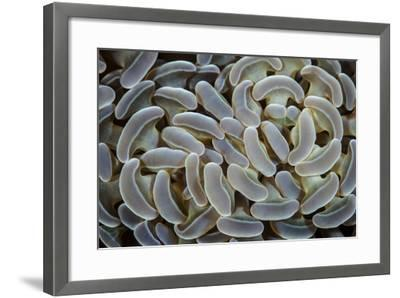 Anchor Coral Grows on a Reef in Indonesia-Stocktrek Images-Framed Photographic Print