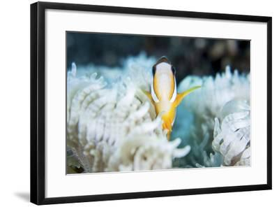A Clark's Anemonefish Snuggles Amongst its Host's Tentacles on a Reef-Stocktrek Images-Framed Photographic Print