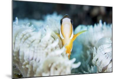 A Clark's Anemonefish Snuggles Amongst its Host's Tentacles on a Reef-Stocktrek Images-Mounted Photographic Print