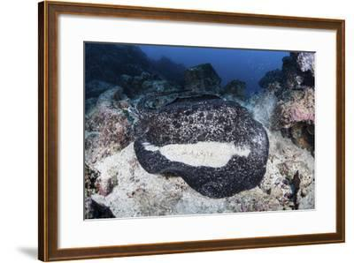 A Large Black-Blotched Stingray Near Cocos Island, Costa Rica-Stocktrek Images-Framed Photographic Print