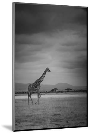 Amboseli Park,Kenya,Italy a Giraffe Shot in the Park Amboseli, Kenya, Shortly before a Thunderstorm-ClickAlps-Mounted Photographic Print
