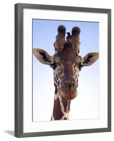 Giraffe Looking at Camera, Tsavo, Kenya, Africa-Neil Thomas-Framed Photographic Print