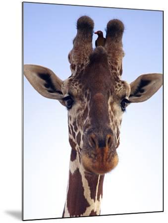 Giraffe Looking at Camera, Tsavo, Kenya, Africa-Neil Thomas-Mounted Photographic Print