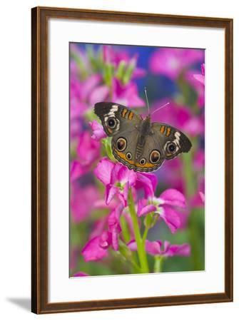 Buckeye Butterfly with Eyespots-Darrell Gulin-Framed Photographic Print