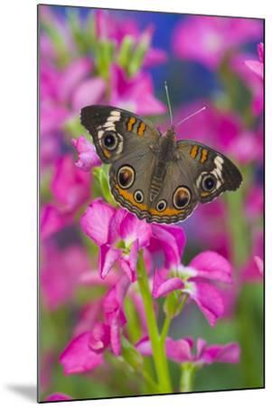 Buckeye Butterfly with Eyespots-Darrell Gulin-Mounted Photographic Print