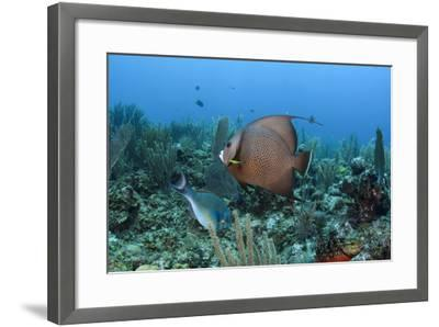 Gray Angelfish, Hol Chan Marine Reserve, Belize-Pete Oxford-Framed Photographic Print