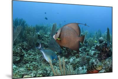 Gray Angelfish, Hol Chan Marine Reserve, Belize-Pete Oxford-Mounted Photographic Print