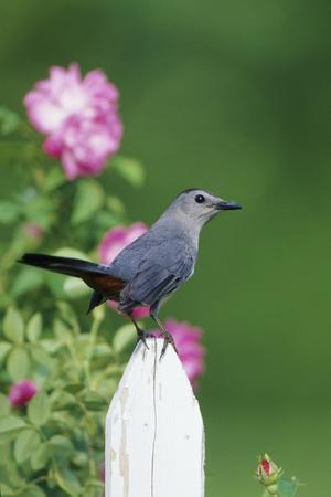 Gray Catbird on Picket Fence Near Pink Rose Bush, Marion, Il-Richard and Susan Day-Framed Photographic Print