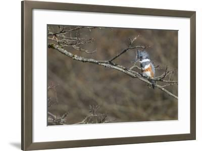 Washington, Female Belted Kingfisher on a Perch-Gary Luhm-Framed Photographic Print