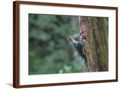 Washington, Female Pileated Woodpecker at Nest in Snag, with Begging Chicks-Gary Luhm-Framed Photographic Print