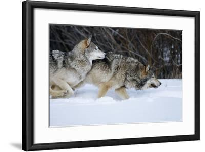 Gray Wolves Running in Snow in Winter, Montana-Richard and Susan Day-Framed Photographic Print