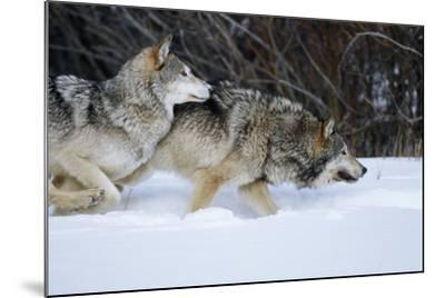 Gray Wolves Running in Snow in Winter, Montana-Richard and Susan Day-Mounted Photographic Print