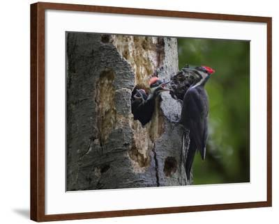 Washington, Female Pileated Woodpecker Aside Nest in Snag with Two Begging Chicks-Gary Luhm-Framed Photographic Print