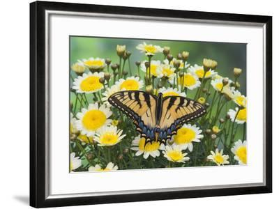 Eastern Tiger Swallowtail Butterfly-Darrell Gulin-Framed Photographic Print