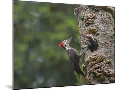 Washington, Female Pileated Woodpecker at Nest in Snag, with Begging Chicks-Gary Luhm-Mounted Photographic Print