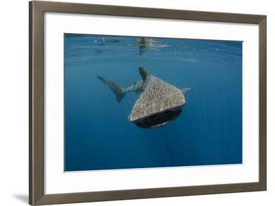 Whale Shark, Cenderawasih Bay, West Papua, Indonesia-Pete Oxford-Framed Photographic Print