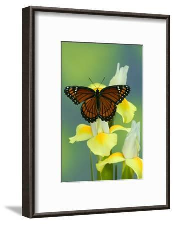 Viceroy Butterfly That Mimics the Monarch Butterfly-Darrell Gulin-Framed Photographic Print
