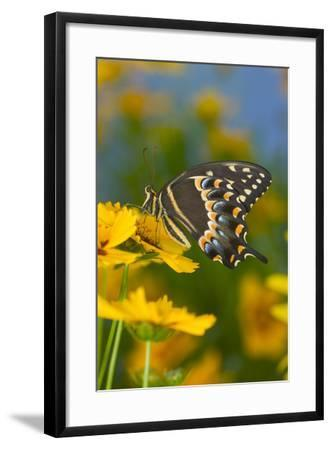 Palmates Swallowtail Butterfly-Darrell Gulin-Framed Photographic Print