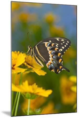 Palmates Swallowtail Butterfly-Darrell Gulin-Mounted Photographic Print