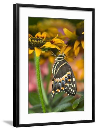 Palmedes Swallowtail-Darrell Gulin-Framed Photographic Print