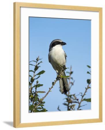 Loggerhead Shrike on Lookout after Feeding Young, Celery Fields, Sarasota, Florida-Maresa Pryor-Framed Photographic Print