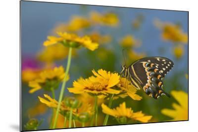 Palmedes Swallowtail-Darrell Gulin-Mounted Photographic Print