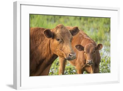 Red Angus Cow and Calf Drinking Water from Pond, Florida-Maresa Pryor-Framed Photographic Print