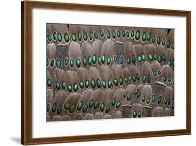 Grey Peacock Tail Feathers-Darrell Gulin-Framed Photographic Print
