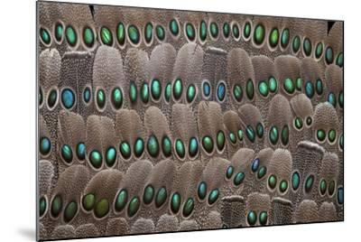 Grey Peacock Tail Feathers-Darrell Gulin-Mounted Photographic Print
