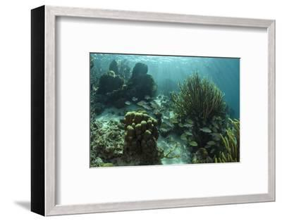 Mahogany Snapper and Grunts, Hol Chan Marine Reserve, Belize-Pete Oxford-Framed Photographic Print