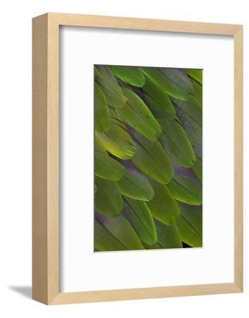 Green Feathers of the Caique Parrot-Darrell Gulin-Framed Photographic Print
