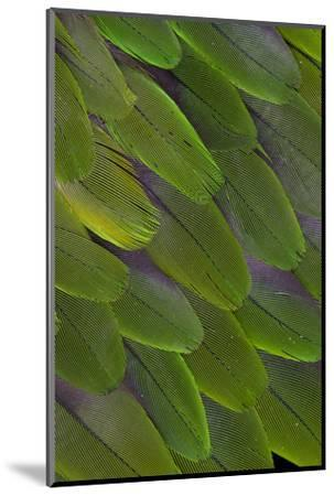 Green Feathers of the Caique Parrot-Darrell Gulin-Mounted Photographic Print
