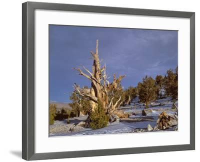 USA, California, Inyo National Forest, Ancient Bristlecone Pine Forest Area-John Barger-Framed Photographic Print