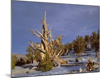 USA, California, Inyo National Forest, Ancient Bristlecone Pine Forest Area-John Barger-Mounted Photographic Print