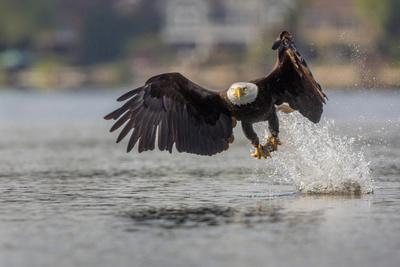Washington, Bald Eagle Catches a Fish on Lake Sammamish, Near Marymoor Park, Redmond-Gary Luhm-Framed Photographic Print