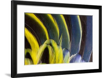 Wing Feathers Fanned Out on Eastern Rosella-Darrell Gulin-Framed Photographic Print