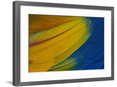 Scarlet Macaw Wing Covert Feathers-Darrell Gulin-Framed Photographic Print