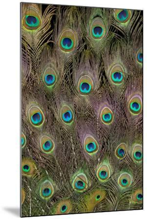 Male Peacock Tail Feathers-Darrell Gulin-Mounted Photographic Print