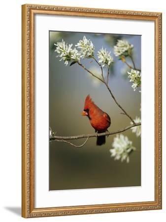 Northern Cardinal Male on Flowering Serviceberry Tree, Marion, Il-Richard and Susan Day-Framed Photographic Print