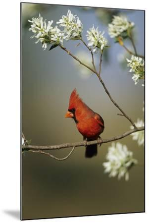 Northern Cardinal Male on Flowering Serviceberry Tree, Marion, Il-Richard and Susan Day-Mounted Photographic Print