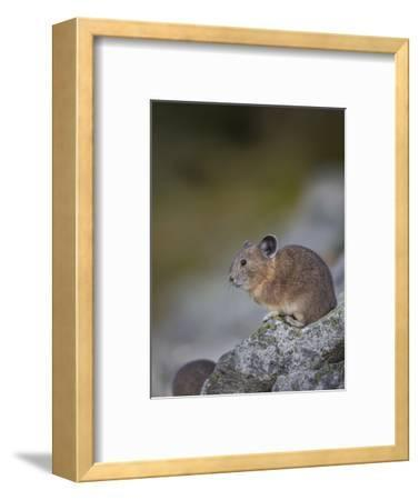 Pika, a Non-Hibernating Mammal Closely Related to Rabbits-Gary Luhm-Framed Photographic Print