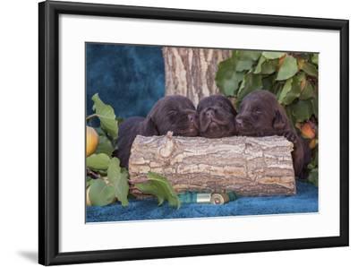 Pile of Sleeping Labrador Retriever Puppies-Zandria Muench Beraldo-Framed Photographic Print